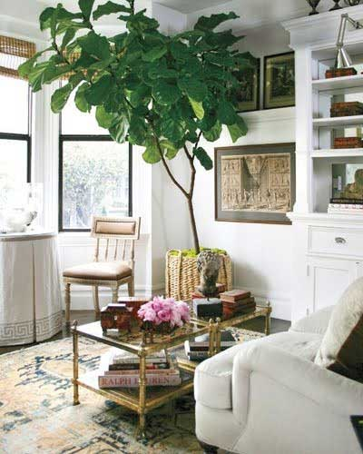 Finding A Fiddle Leaf Fig Tidbits Twine: large living room plants
