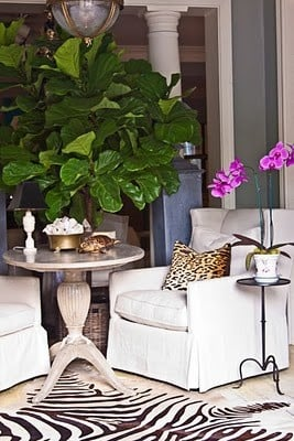 Seating area with white slipcovered chairs and small French side table and large fiddle leaf fig in a basket