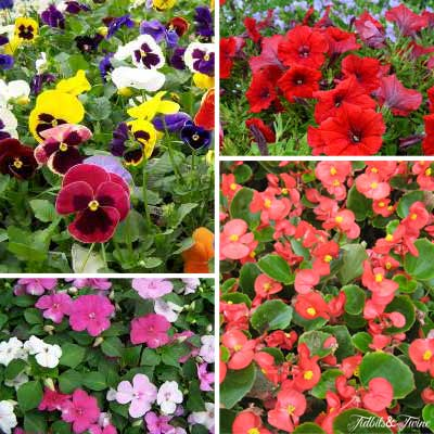 {Clockwise from top left 1. Pansies 2. Petunias 3. Begonias 4. Impatiens}
