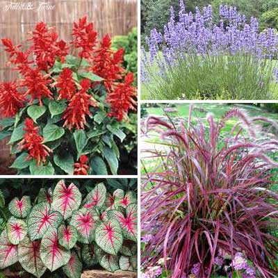 {Clockwise top left 1. Red Hot Sally Salvia 2. Lavender 3. Purple Fountain Grass 4. Caladium}