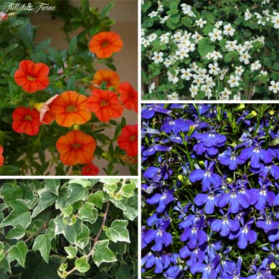 {Clockwise top left 1. Superbells 2. Bacopa 3. Lobelia 4. Variegated Ivy}