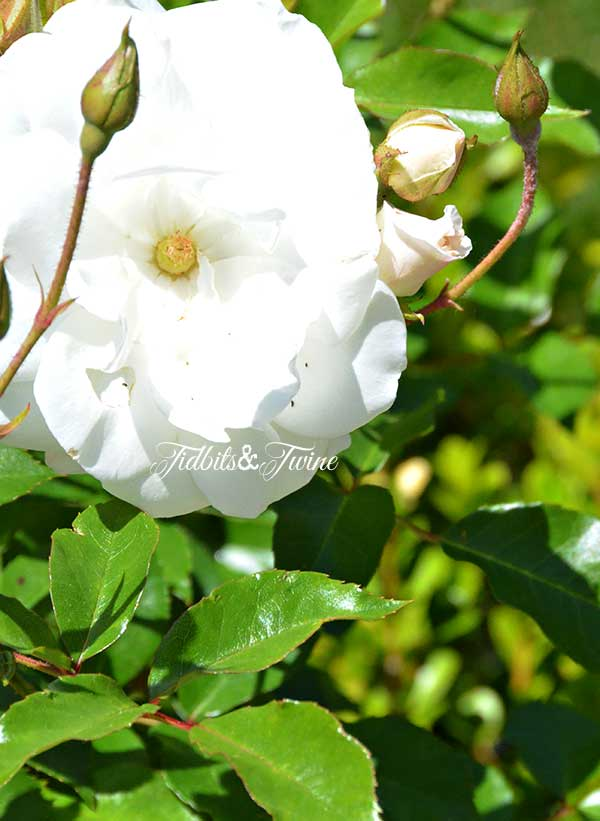 TIDBITS-&-TWINE-White-Rose