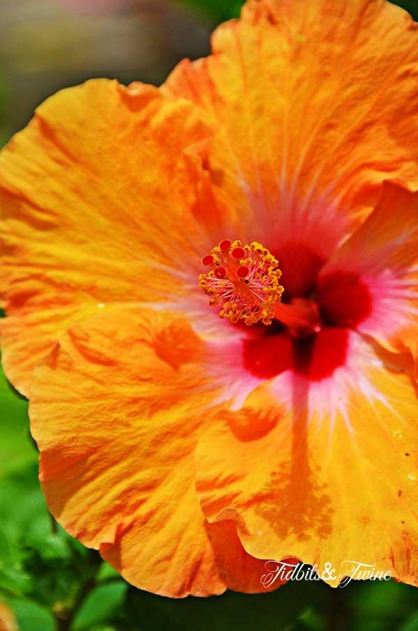 TIDBITS-&-TWINE-Orange-Hybiscus