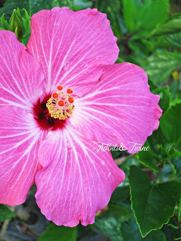 TIDBITS-&-TWINE-Pink-Hybiscus
