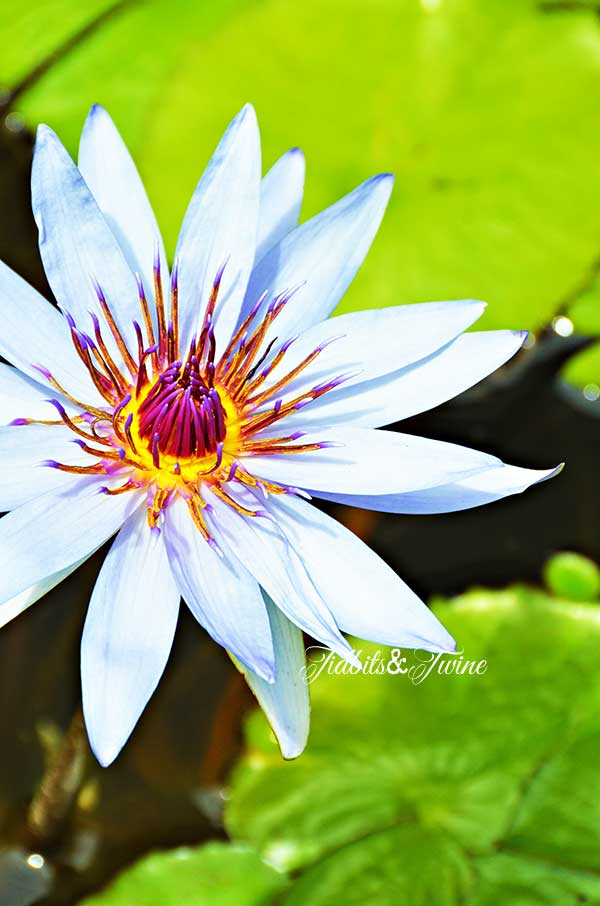 TIDBITS-&-TWINE-Purple-Water-Lily