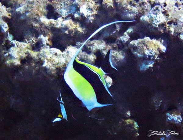 TIDBITS-&-TWINE-Yellow-Fish