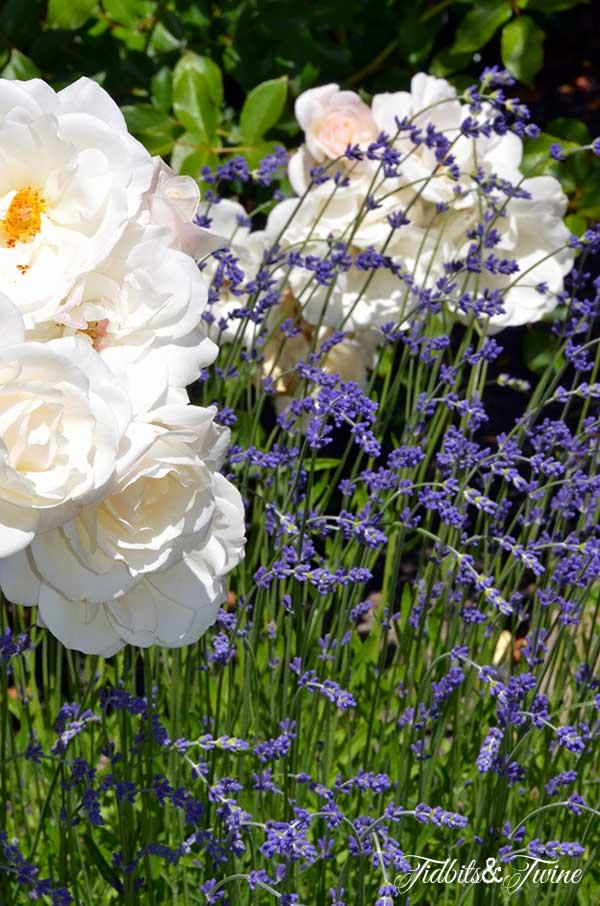 TIDBITS-&-TWINE-Roses-and-Lavendar