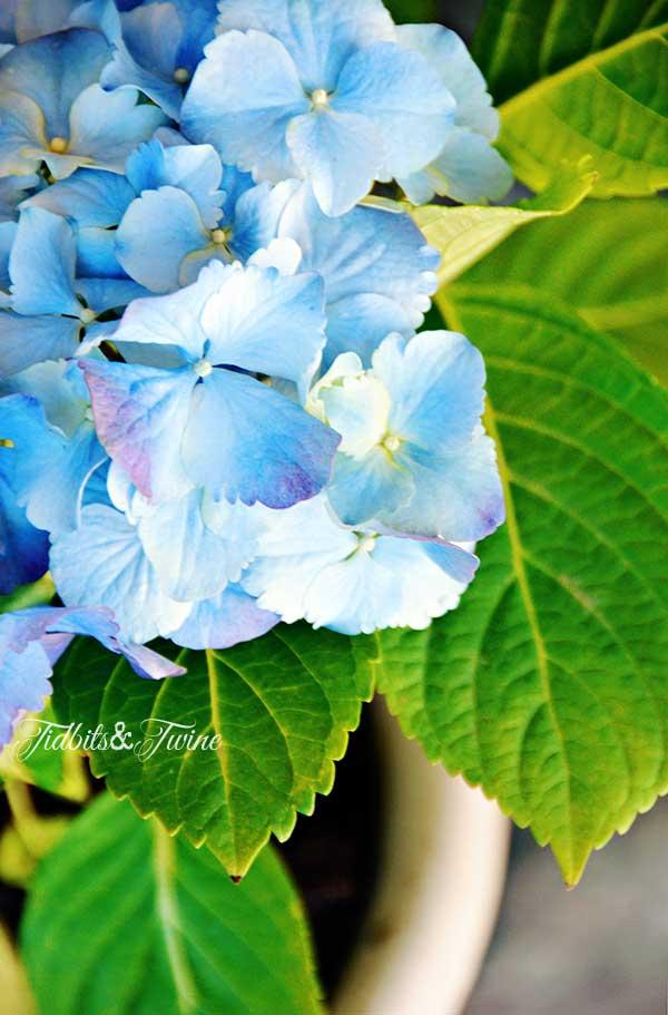TIDBITS-&-TWINE-Blue-Hydrangea