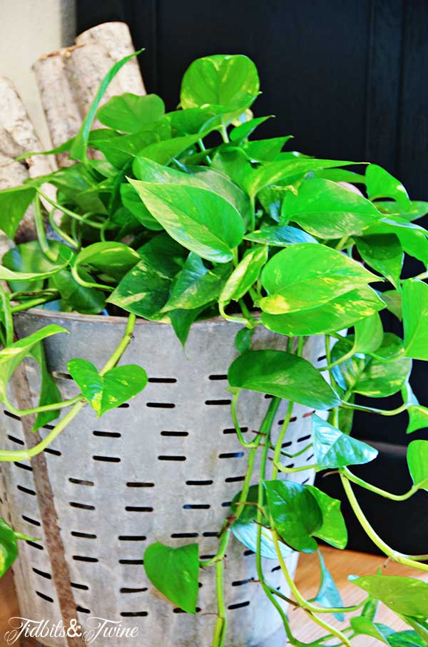 TIDBITS-&-TWINE-Pothos-Climbing-in-Olive-Bucket