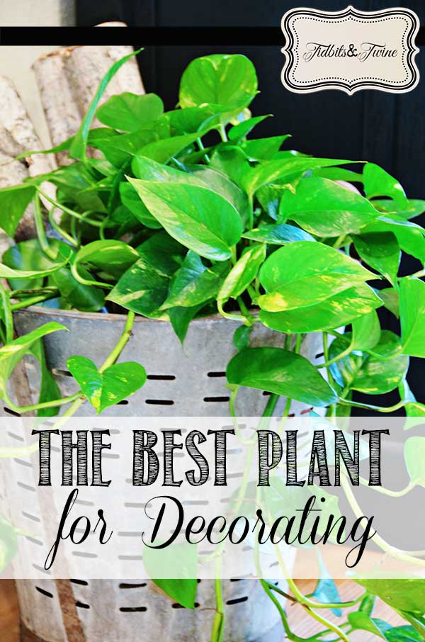 The BEST Houseplant for Decorating!