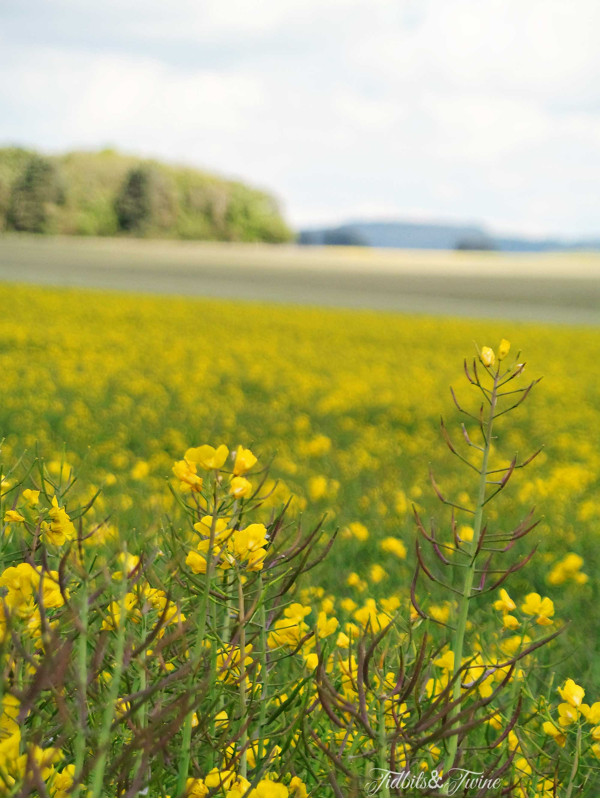 TIDBITS&TWINE---Rapeseed-Flower-Fields
