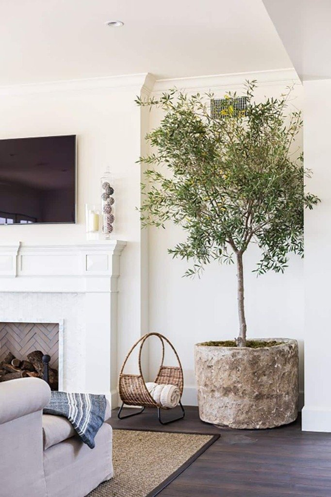 large olive tree in weathered pot in corner of living room