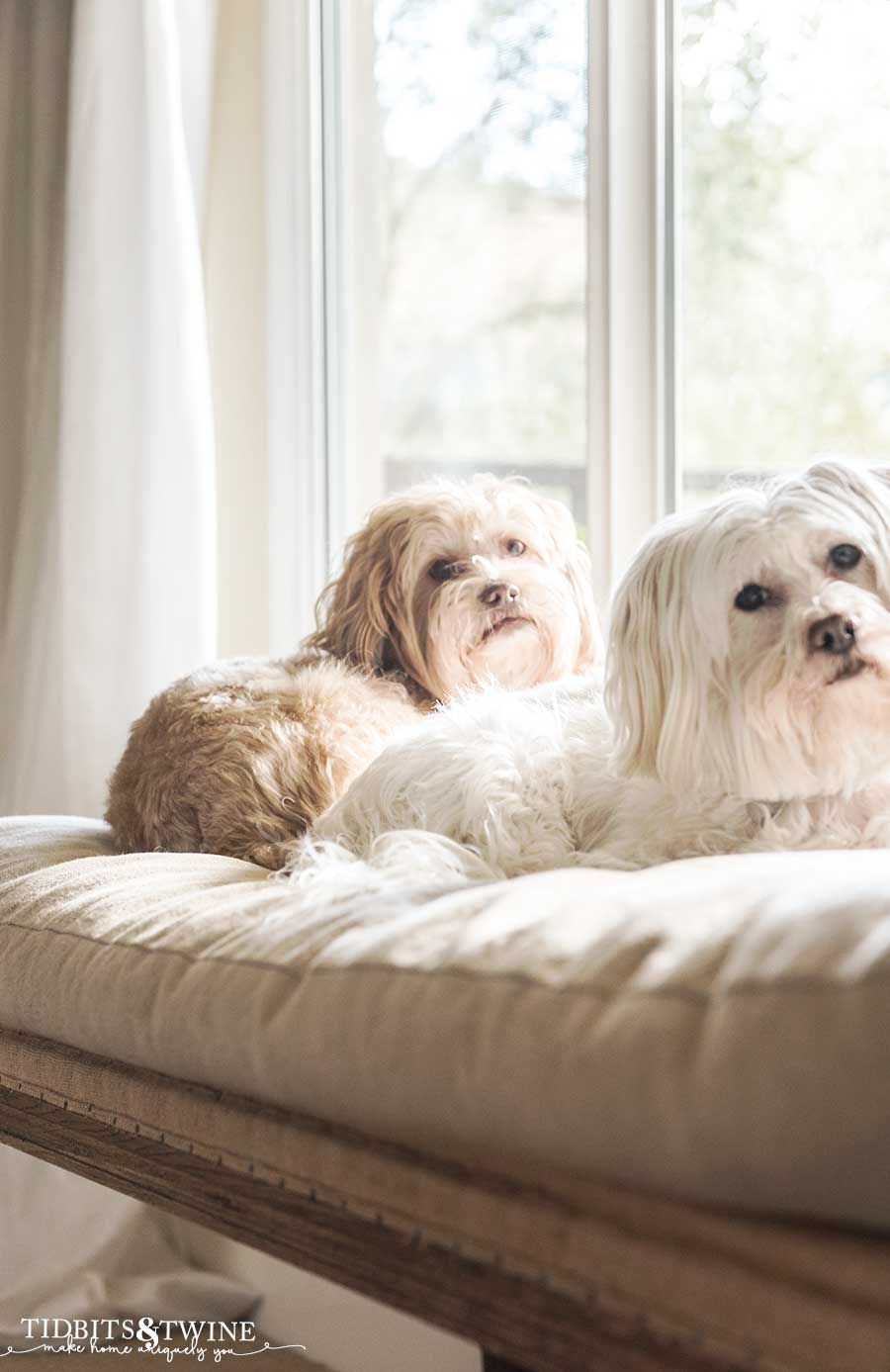 Maltese mix dogs on a linen bench