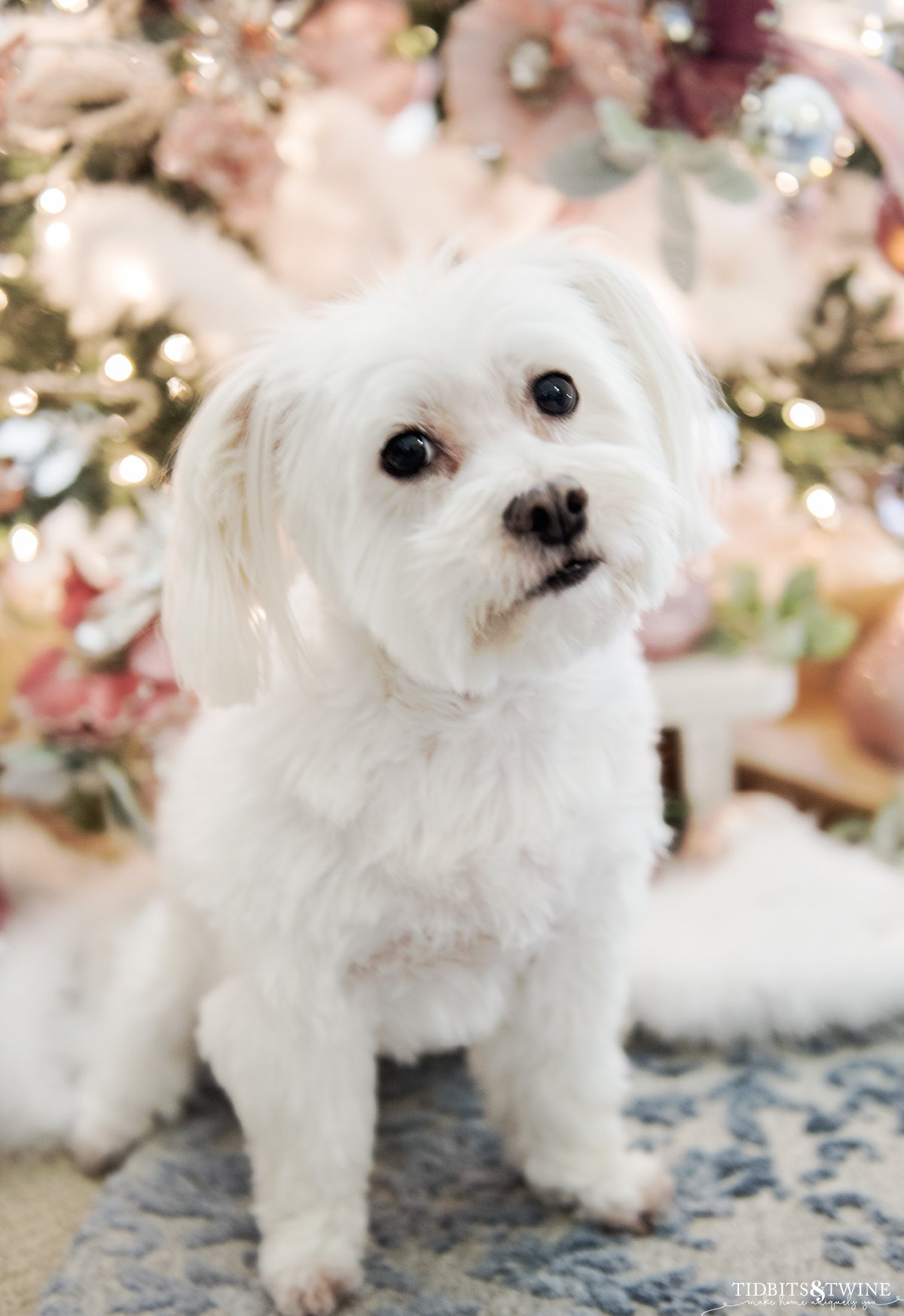 White maltese mix dog sitting in front of pink French Christmas tree