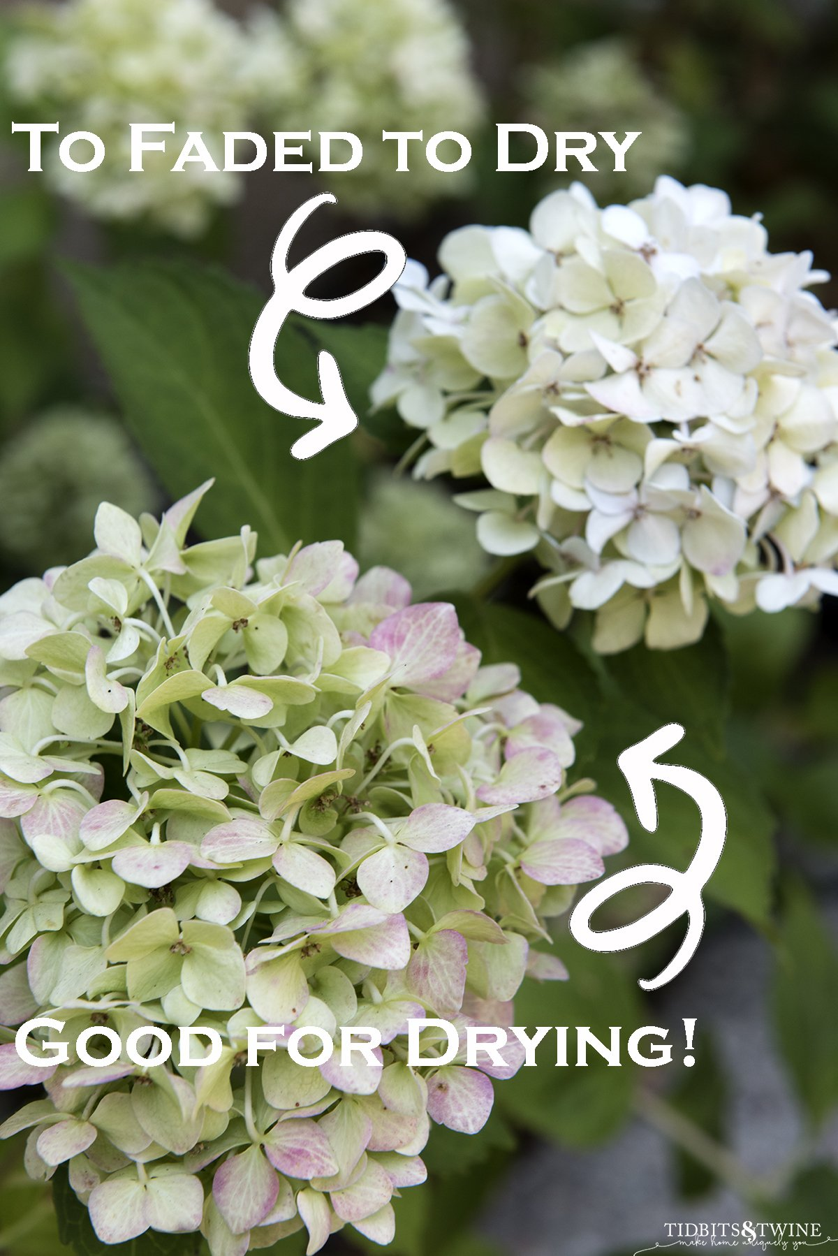 closeup of bigleaf white hydrangea that has turned green and one that has faded with text overlay saying one is perfect for pruning to dry