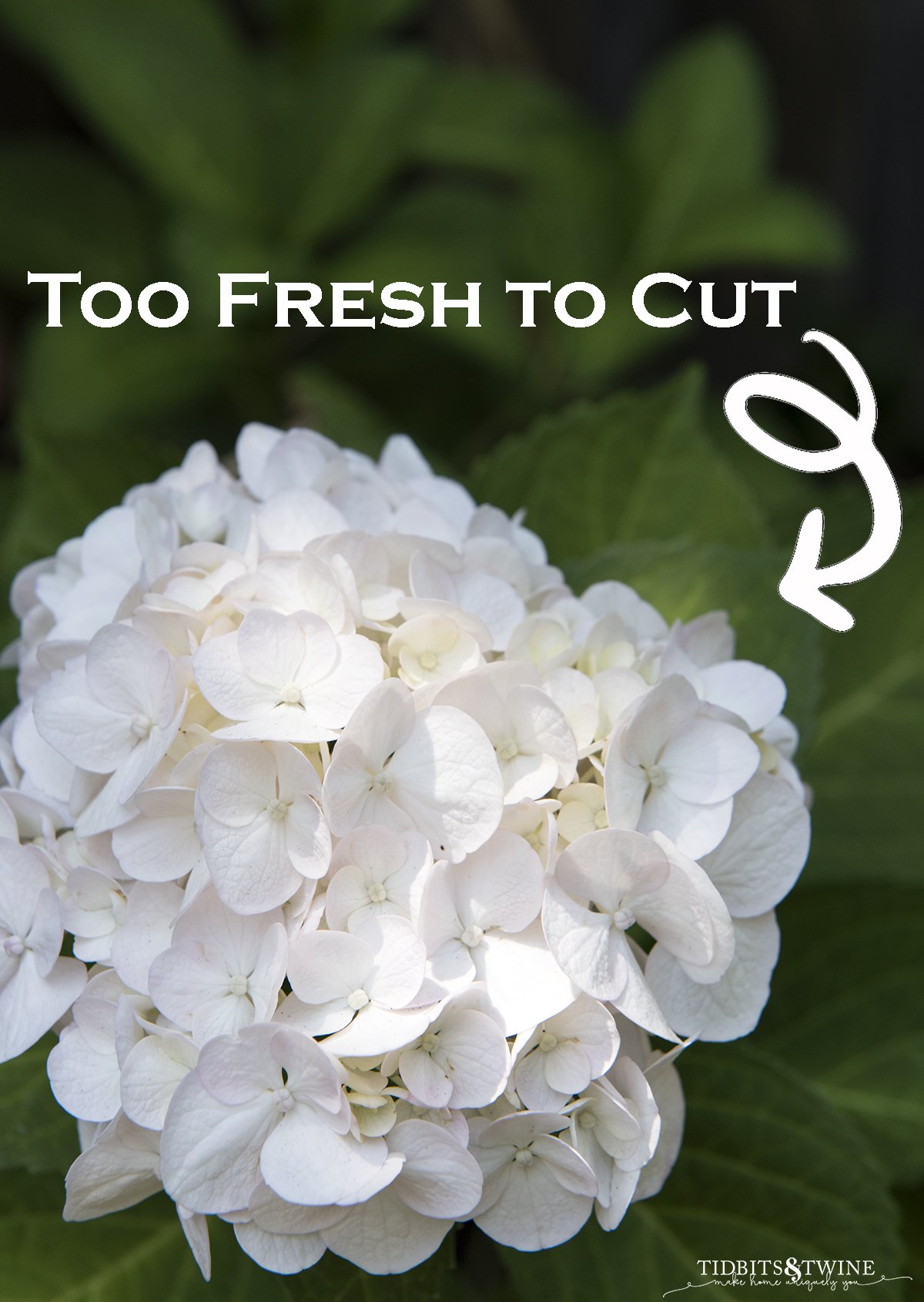 closeup of white bigleaf hydrangea with text overlay showing it is too soon to prune